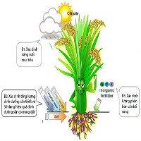 Tính toán nhu cầu phân bón của cây lúa bằng kỹ thuật