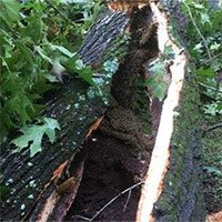 Tổ ong 70.000 con trong thân cây phát lộ sau bão lốc