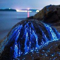 Tôm biển phát quang sáng rực bờ biển Nhật