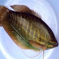 Tổng hợp các loài cá nước ngọt phổ biến tại Việt Nam bạn nên biết