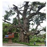 Top 10 cây cổ thụ nhất Việt Nam có thể bạn không biết