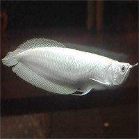 Top 10 loại cá quý hiếm và đắt nhất Việt Nam