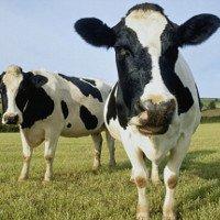 Toyota xây nhà máy biến phân bò thành điện