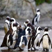 Trái đất nóng lên, loài chim cánh cụt hoàng đế có nguy cơ tuyệt chủng