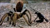 Trận chiến giữa ong và nhện hùm