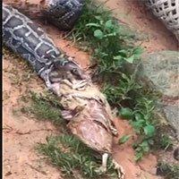 Trăn nôn trả 5 con gà để thoát thân