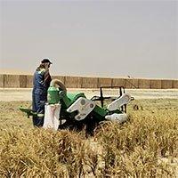 Trồng thành công lúa chịu mặn trên sa mạc ở Dubai