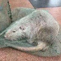 Trung Quốc bắt được chuột