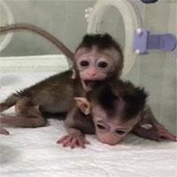 Trung Quốc cho sinh sản vô tính khỉ biến đổi gene để nghiên cứu sức khỏe tâm thần