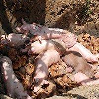 Trung Quốc có thể cung cấp vắc xin chống lại dịch tả lợn châu Phi