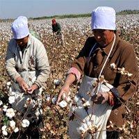 Trung Quốc lai tạo giống bông mới để cắt giảm ô nhiễm