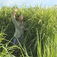 Trung Quốc thu hoạch giống lúa cao bằng đầu người