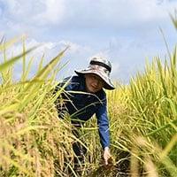 Trung Quốc tiến hành thu hoạch vụ