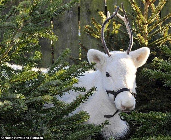 Tuần lộc lông trắng như tuyết hiếm thấy xuất hiện tại Anh