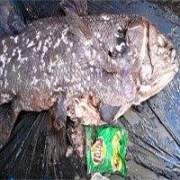 Túi nylon trong bụng loài cá