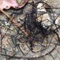 Tưởng dây thép gai, hóa ra sinh vật kinh dị khiến nhiều người dựng tóc gáy