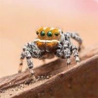 Úc tìm ra loài nhện mới: Trông giống cá hề lại còn biết nhảy múa