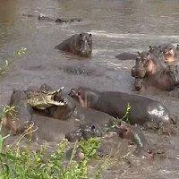 Vào cấm địa của hà mã, cá sấu bị đánh