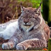 Vẻ đẹp bí ẩn của loài mèo hoang quý hiếm khổng lồ