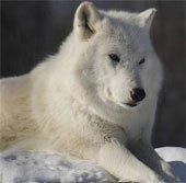 Vẻ đẹp hoang dại của loài sói trắng Bắc cực