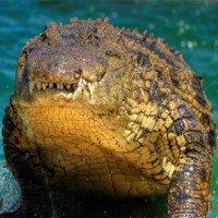 Về mặt sinh học, cá sấu là loài bất tử?