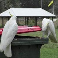 Vẹt dạy nhau cạy nắp thùng rác ở thủ đô Australia