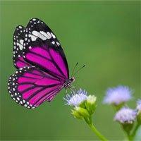 Vị giác của bướm nằm ở đâu? Câu trả lời chính xác nhất khiến bạn cực bất ngờ
