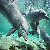 Vi khuẩn kháng kháng sinh ảnh hưởng đến… cá heo