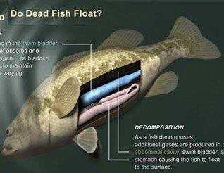 Vì sao cá chết lại nổi?