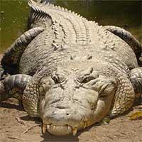 Vì sao cá sấu có thể