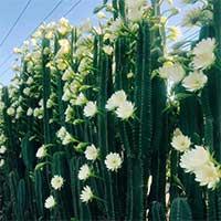 Vì sao cây xương rồng không lá, nhưng vẫn nở hoa cực đẹp?