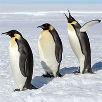 Vì sao chim cánh cụt