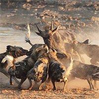 Vì sao chó hoang châu Phi được coi là