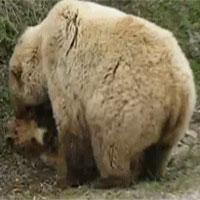 Vì sao đang yên đang lành, gấu mẹ lao vào vật lộn, cắn xé con mình như kẻ thù?