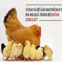 Vì sao gà đẻ gần như mỗi ngày mà mọi quả trứng đều nở ra cùng lúc?