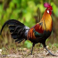 Vì sao gà trống không bị điếc tai bởi tiếng gáy của chính nó?