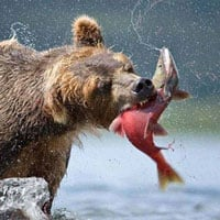 Vì sao gấu thường chỉ ăn não cá?