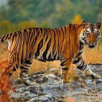 Vì sao hổ dễ dàng phát hiện con mồi ngay cả trong bóng tối?