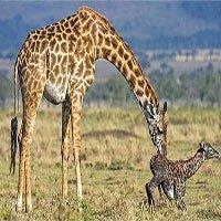 Vì sao hươu cao cổ non phải đứng dậy ngay khi chào đời?