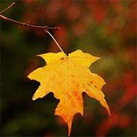 Vì sao lá trên ngọn rụng cuối cùng?