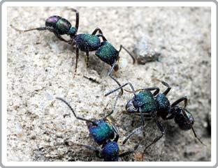 Vì sao loài kiến