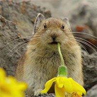 """Vì sao loài thỏ Pika lại được mệnh danh là """"kẻ trộm đáng yêu nhất thế giới""""?"""