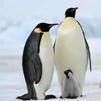 Vì sao lông chim cánh cụt không bao giờ bị đông đá?