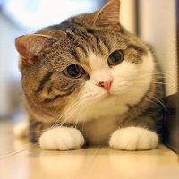 Vì sao mèo luôn tiếp đất bằng 4 chân?