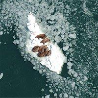 Vì sao mỗi nămlại có hàng chục nghìn con hải mã mắc kẹt trên bãi biển Alaska?