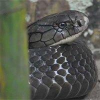 Vì sao một số loài rắn không trúng độc của chính mình?