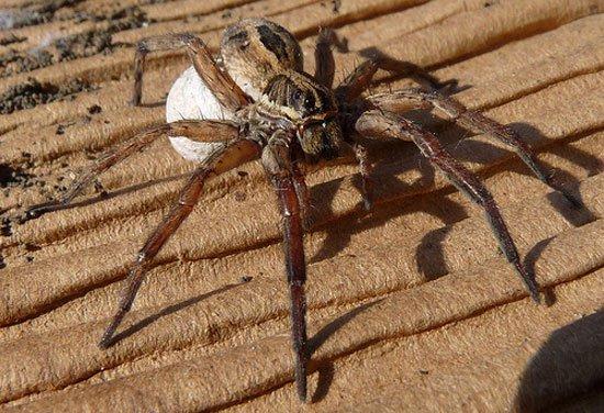 Vì sao nhện cái to con hơn nhện đực?
