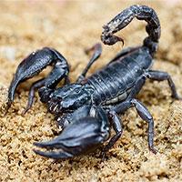 Vì sao nọc của bọ cạp lại cực độc?