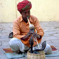 Vì sao rắn không có tai lại nghe được tiếng sáo?