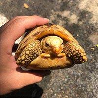 Vì sao rùa rụt được đầu vào trong mai?